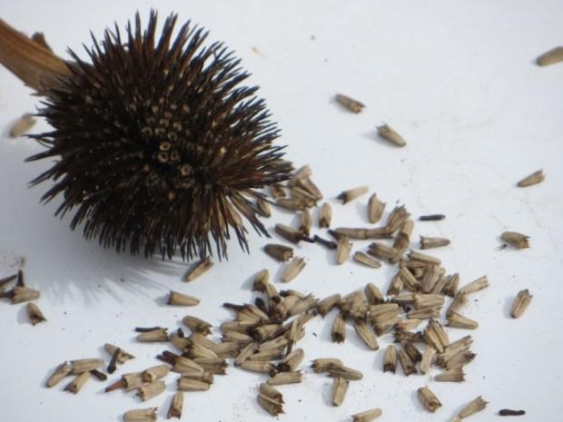 echinacea seeds 4