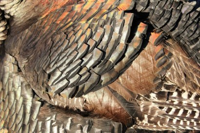 Broad Breasted Bronze Feathers in afternoon light