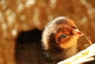 2016 - Cinnamon Chick