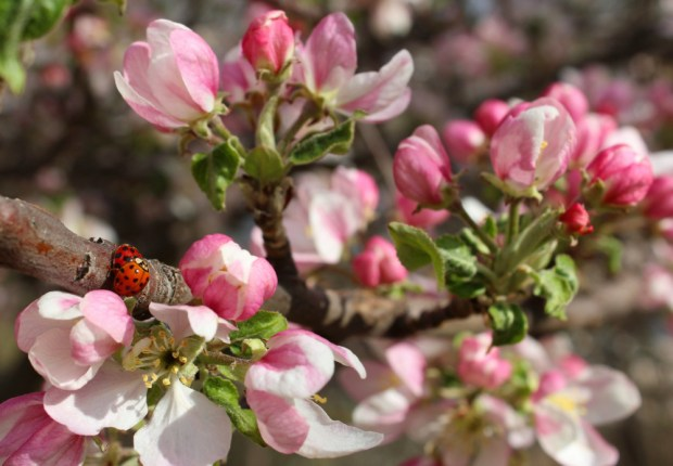Apple blossoms and lady bug porn