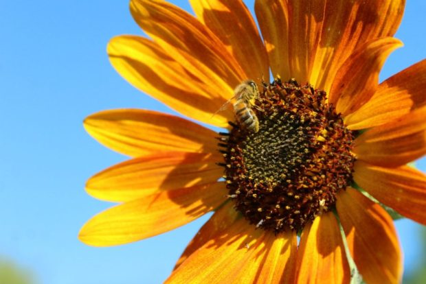 Autumn Harvest Sunflower with Bee