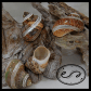 hermit crab shell banded brown turbo