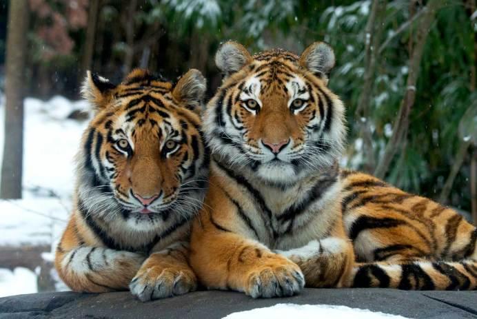 tigers snow winter wild animals bronx zoo