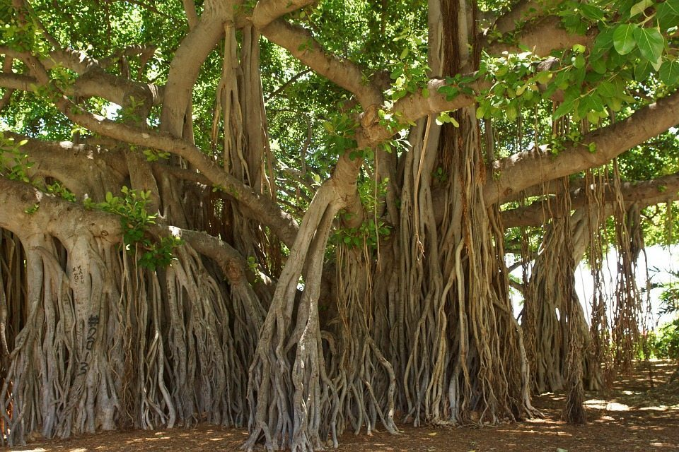 Image: The long, amazing tendrils of the banyan tree