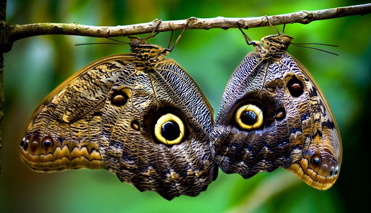 Image: Two butterflies perched on a branch making their spots look like eyes.