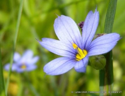 Image: a blue morning star flower