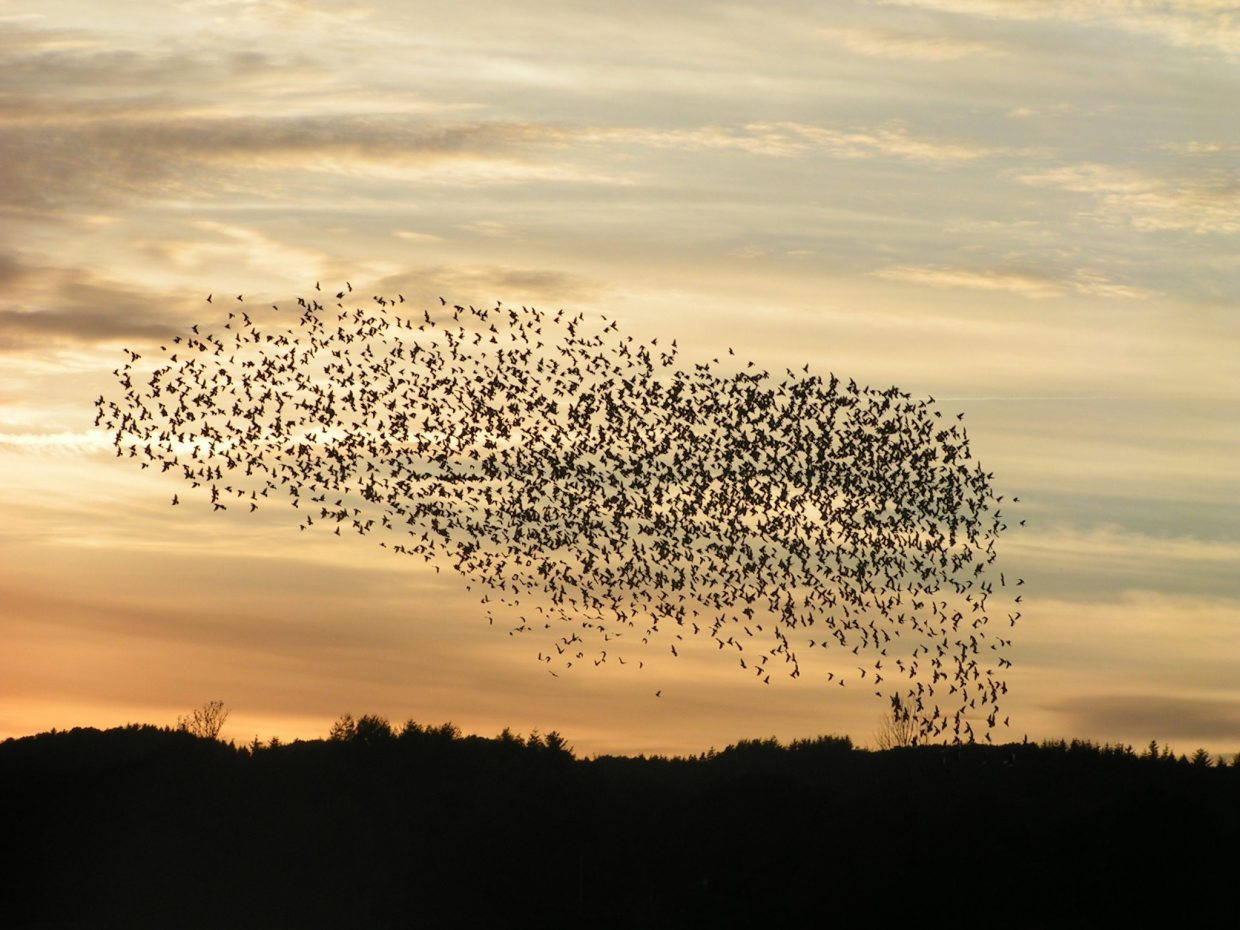 Image: Birds flying in a huge, harmonious flock