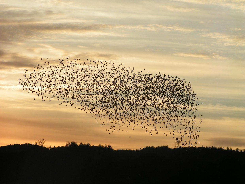 Image: Birds flying in a huge, harmonious flock