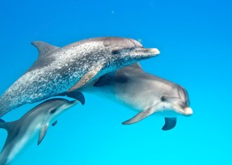 Image: Three generations of spotted dolphins