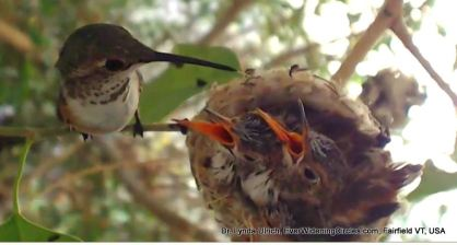 Image: A mama hummingbird feeding her babies in the nest