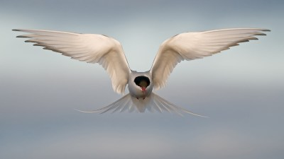 Image: Arctic Tern in Fligh