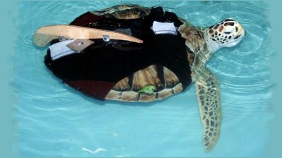 Image: Sea Turtle with prosthetic fin