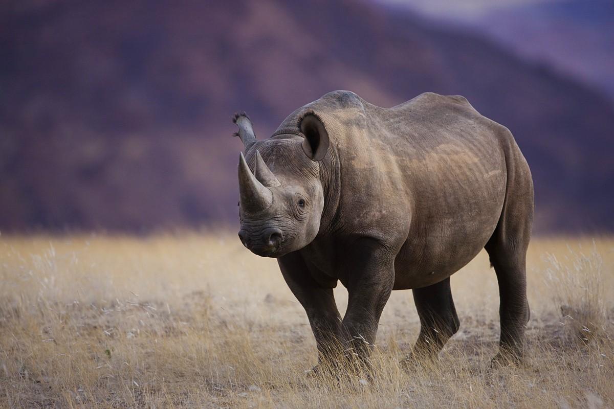 Namibia; Namib Desert, black rhinoceros (Diceros bicornis) near Huab River, highly endangered