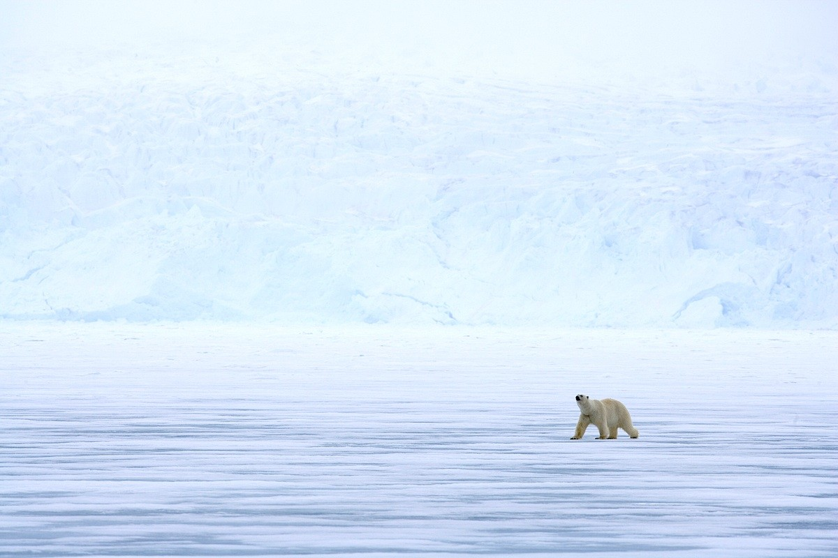 Image: Polar bear Focus Expiditions