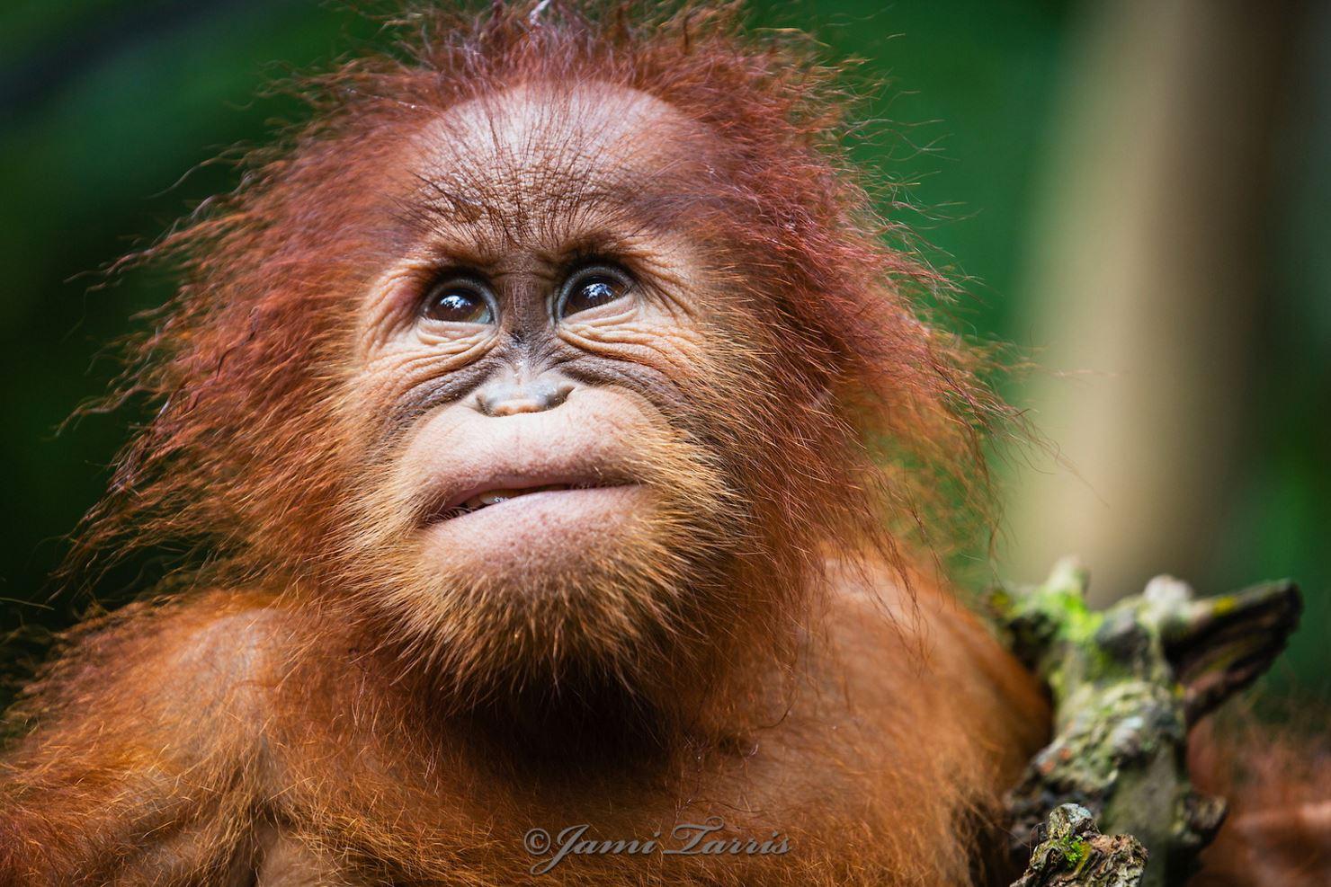 Image: Baby Orangutan outside looking up sweetly
