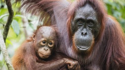 Image: A close-up portrait of a female orangutan (Pongo pymaeus) and her young together, Tanjung Puting National Park, Central Kalimantan, Borneo, Indonesia