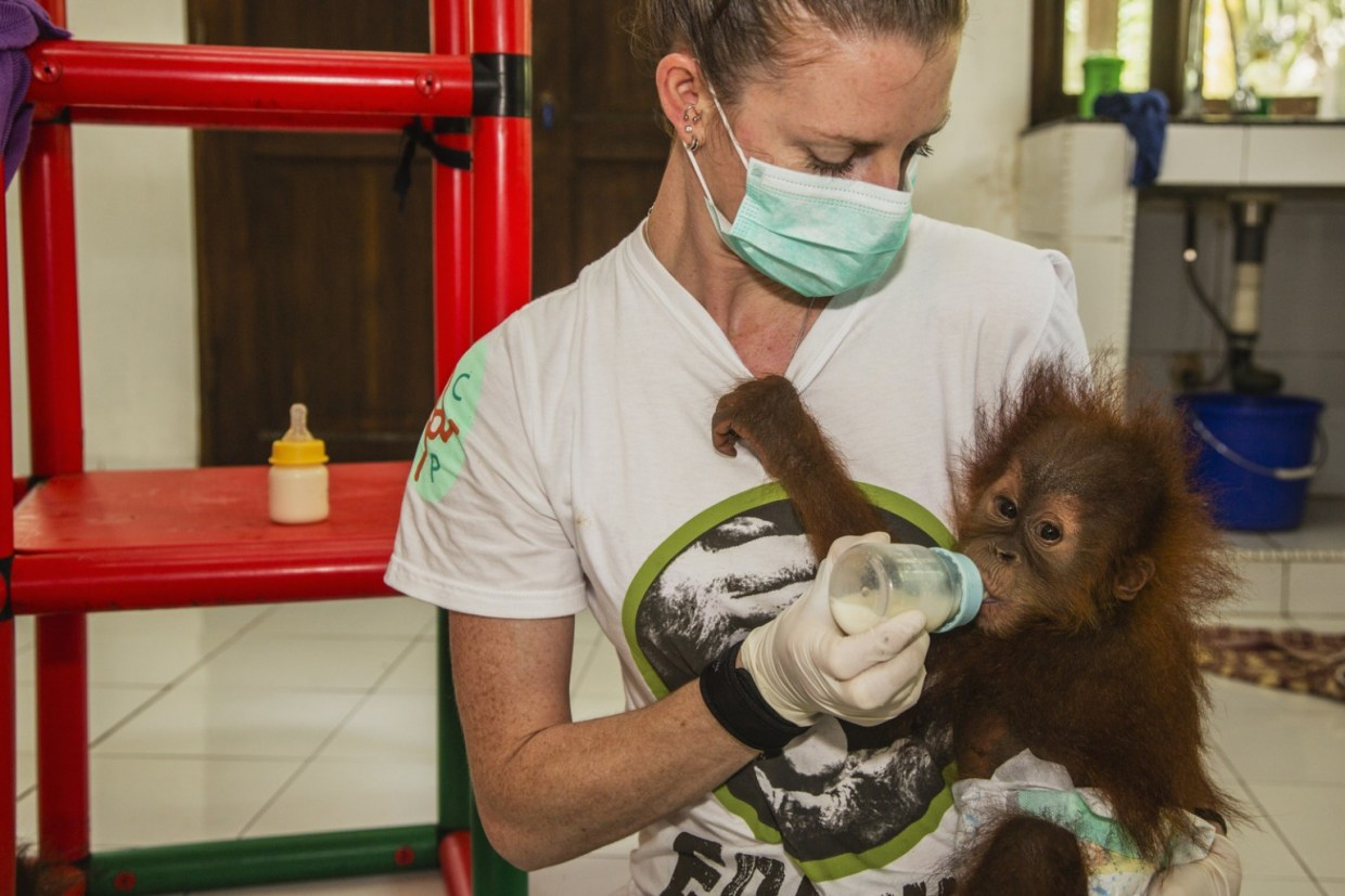 image: A caregiver in a quarantine center for orphaned orangutans feeds a newly arrived infant Sumatran orangutan (Pongo abelii) that was rescued from illegal pet traders after its mother was killed, Medan, Sumatra, Indonesia