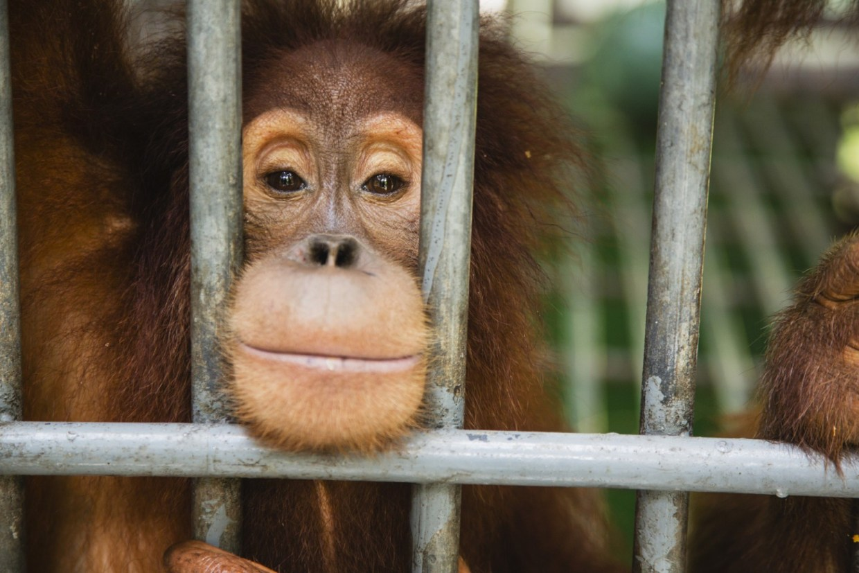 Image: Baby Orangutan peeking through bars of a cage