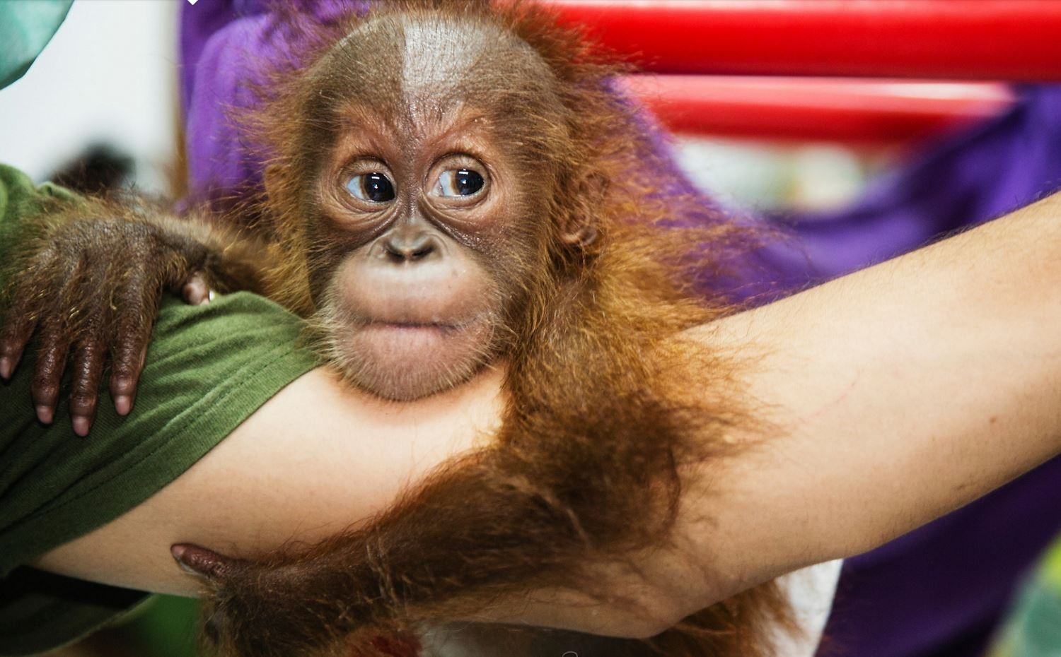 Image: Baby orangutan clutches helper's arm