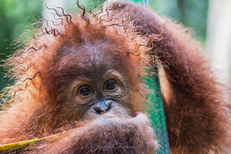 Image: Baby Orangutan with Rasta Hair