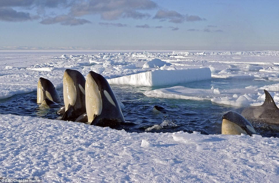 killer whales in the wild, coming through the ice