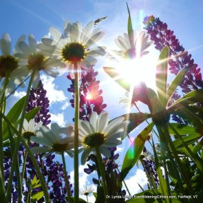 Image: Sunlight through the daisies