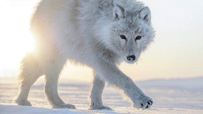 Image: Arctic white wolf