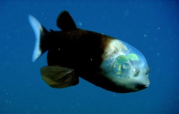 deep sea oddities: barreleye fish