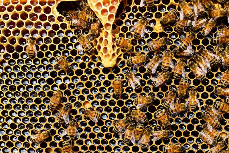 Image: Bees make honey in their honeycomb