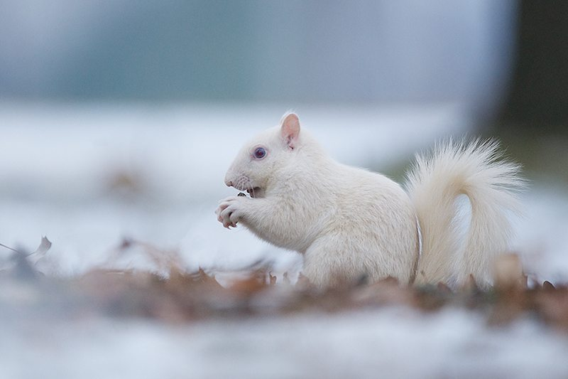 Image  Albino squirrel in the snow. One of the white squirrels of Olney  Illinois aba0954a1