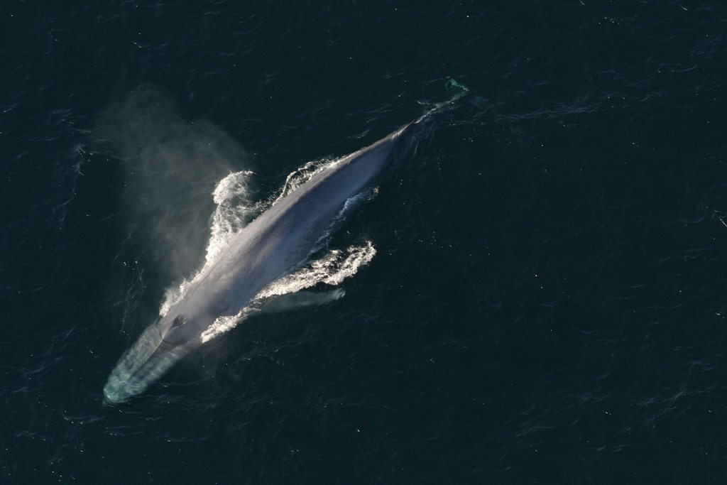 Image: The image of a Blue Whale swimming from above