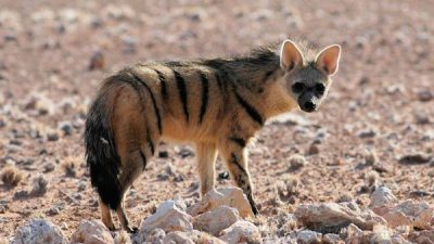 Image: aardwolf in natural habitat