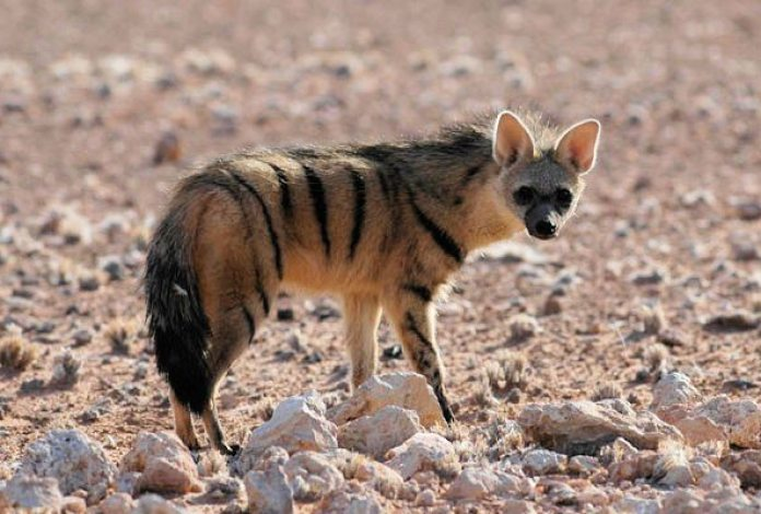 Image: An aardwolf standing in a sandy, rocky plain