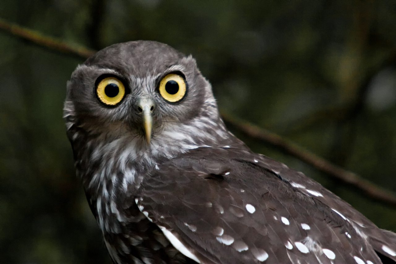 The Barking Owl or Winking Owl is a nocturnal bird species native to mainland Australia and parts of Papua New Guinea. The presence of these owls is usually revealed by their barking calls.