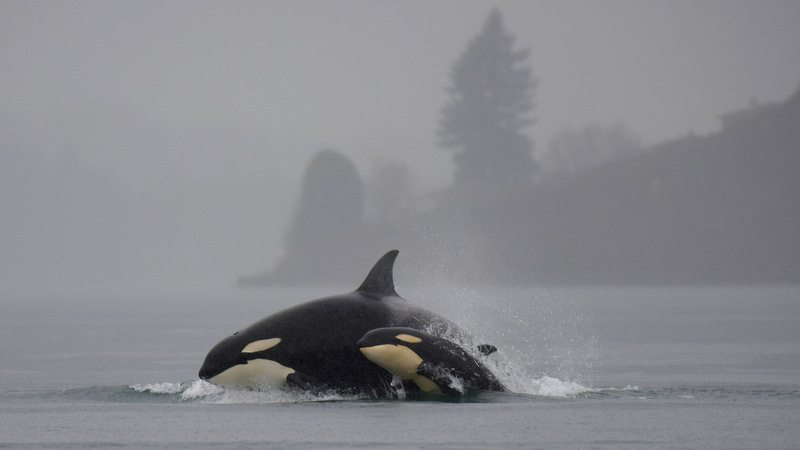 Image: Killer whales mother and baby breaching in the wild