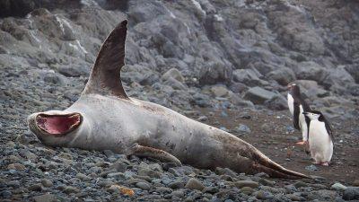 Image: Leopard seals and penguins