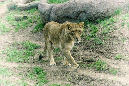 Image: A lioness