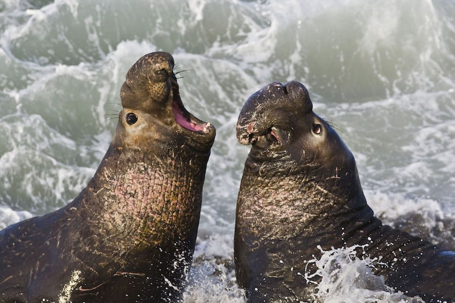 Image: Mother Nature's beachmaster Elephant Seal fighting with another male seal