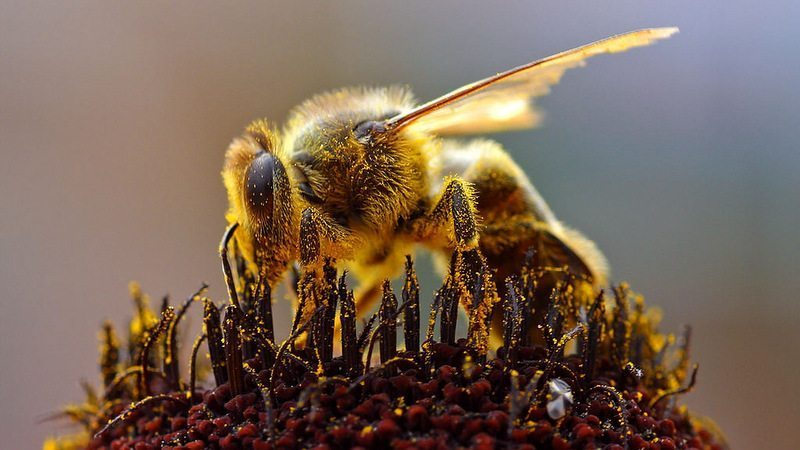 Image: A bee covered with pollen