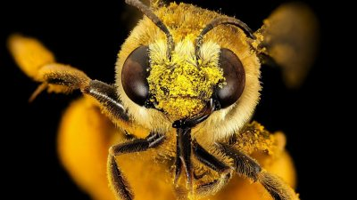 Image: Bee's face covered with pollen