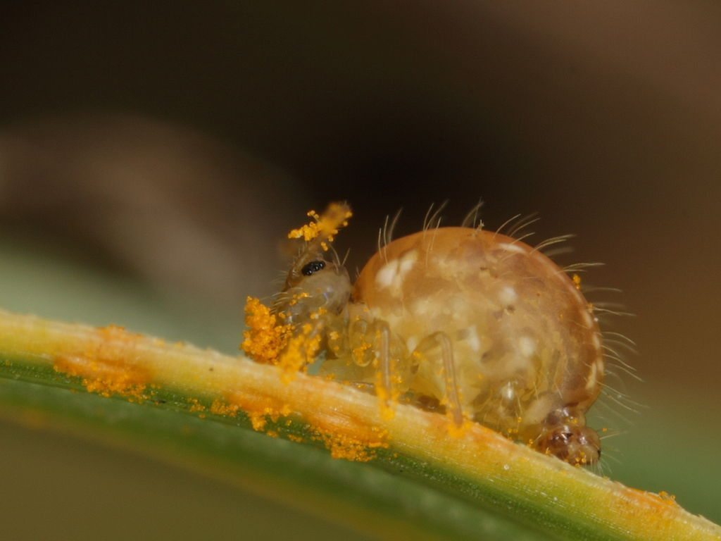 Image: A tiny springtail insect covered with pollen