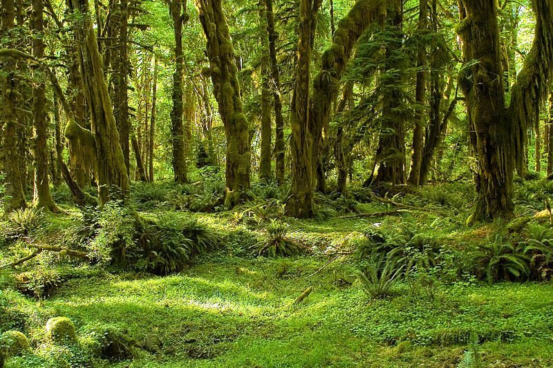 Image: A photo of Olympia National Park's Maple Glade Trail
