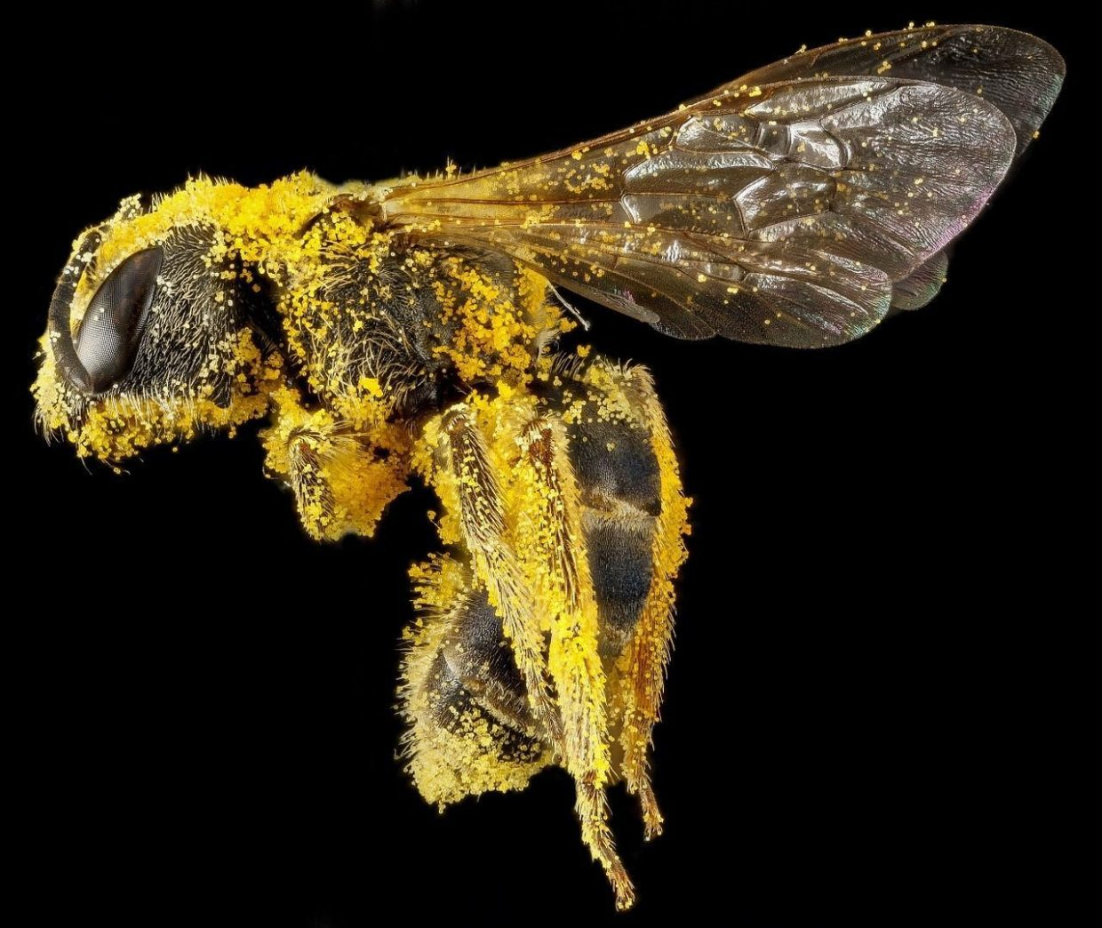 Image: Bee covered in pollen
