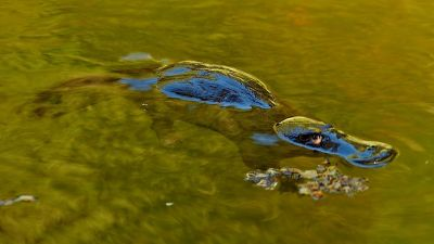 Image: Platypus swimming