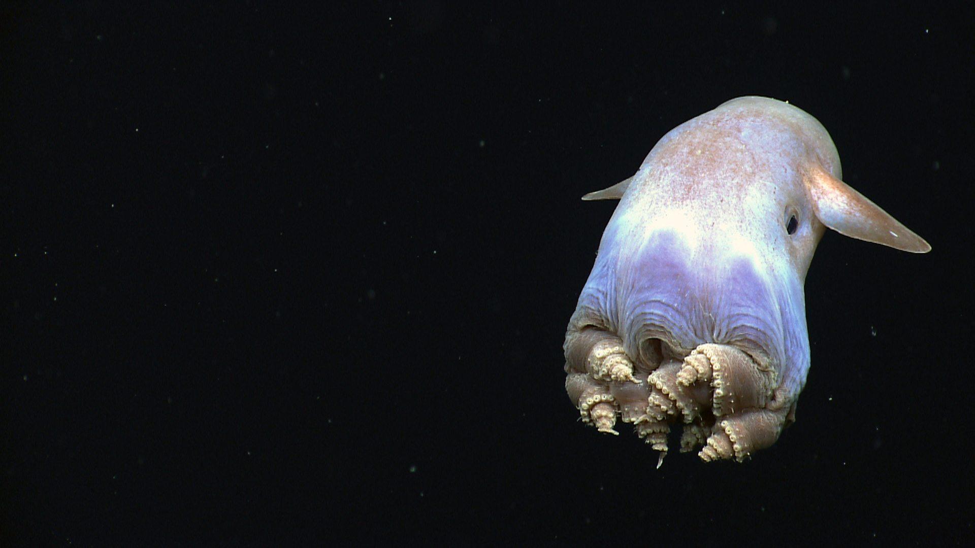 Image: Dumbo Octopus