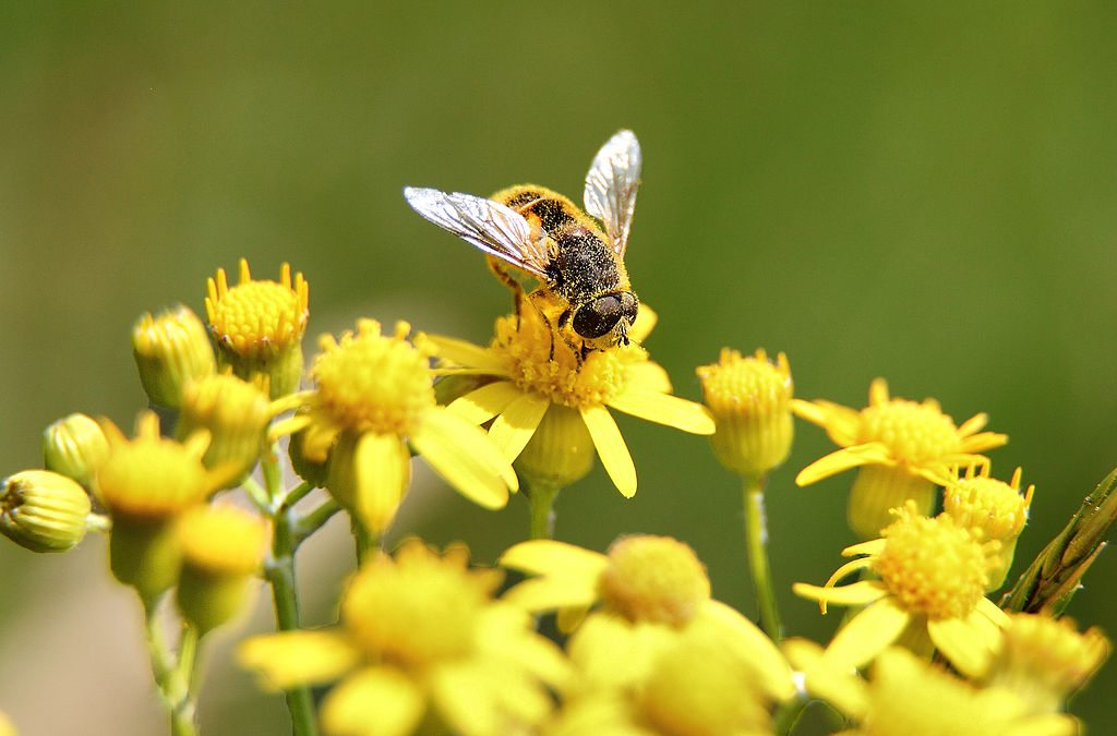 Image: Bee gathering pollen on yellow flower