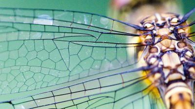 Image: Dragonfly wing closeup