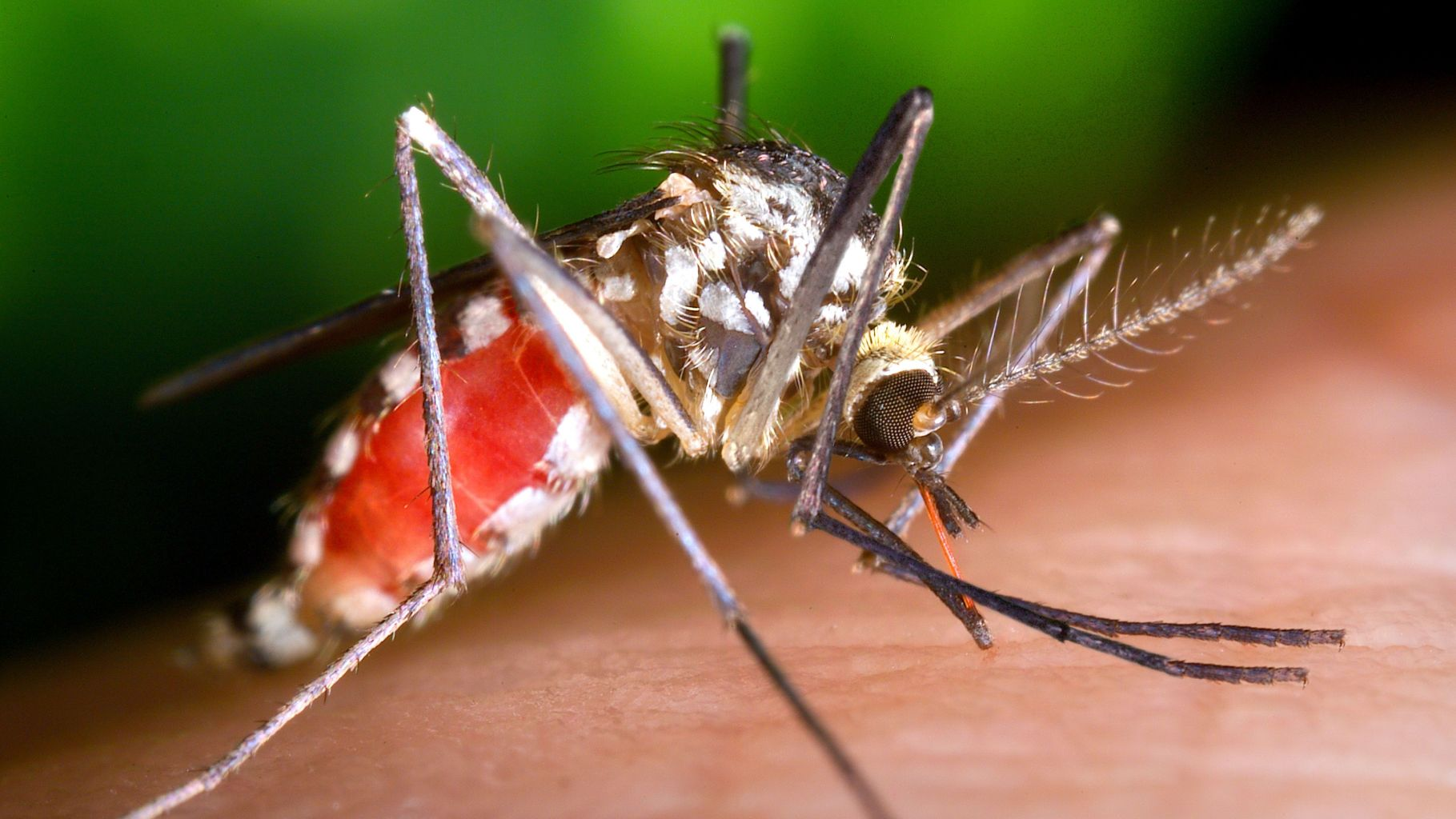 Image: The world's deadliest organism; A mosquito engorged with blood from feeding