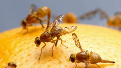 Image: fruit flies on an orange
