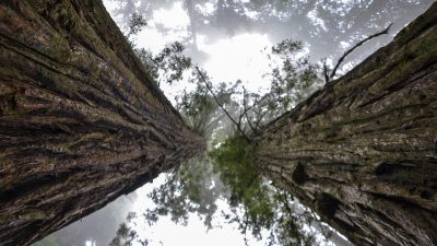 Image: Looking up at the immensity of two Redwoods